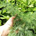выращивание укропа кустистый