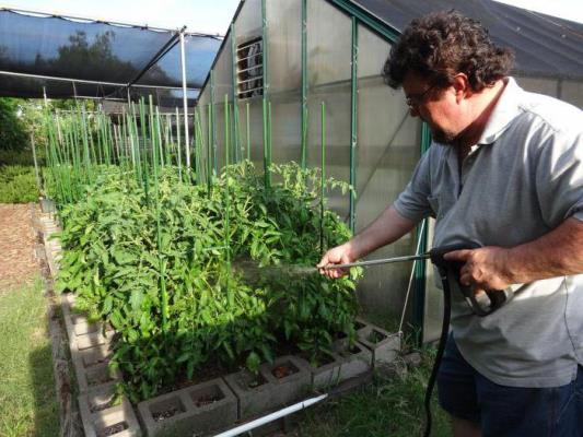 обработка помидор трихополом от фитофторы