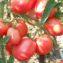 новичок делюкс томат