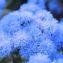 агератум голубая норка фото