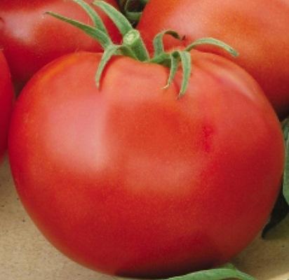 томат джина тст отзывы