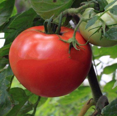 томат джина тст