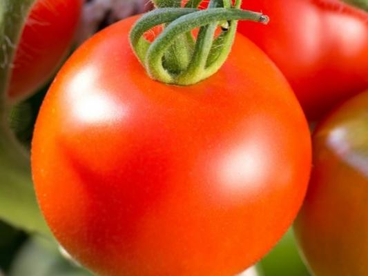 томат джина тст характеристика и отзывы
