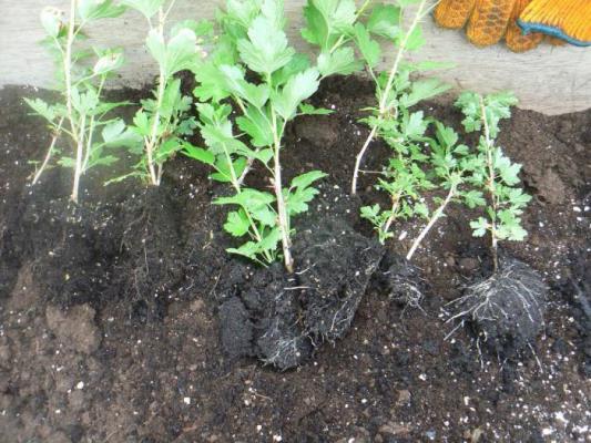 как посадить крыжовник осенью саженцами