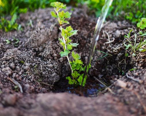 как посадить крыжовник черенками осенью