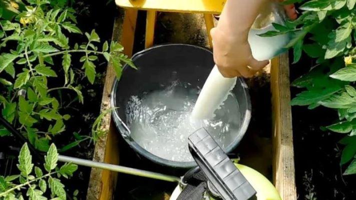 молоко и йод от фитофторы помидор