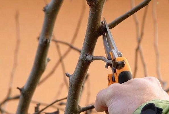 обрезка груши осенью