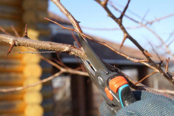 как обрезать грушу осенью