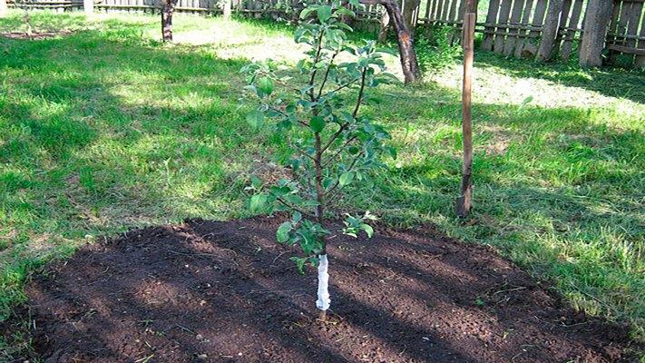 как пересаживать грушу осенью