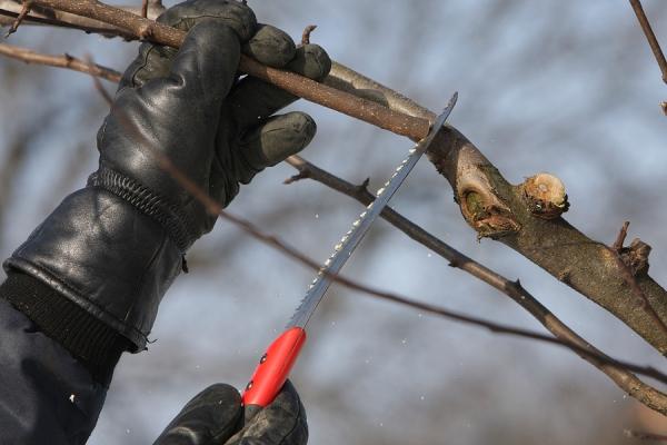 осенняя обрезка груши