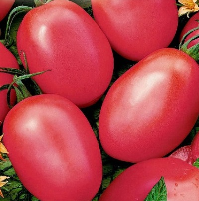 томат новичок розовый отзывы фото урожайность