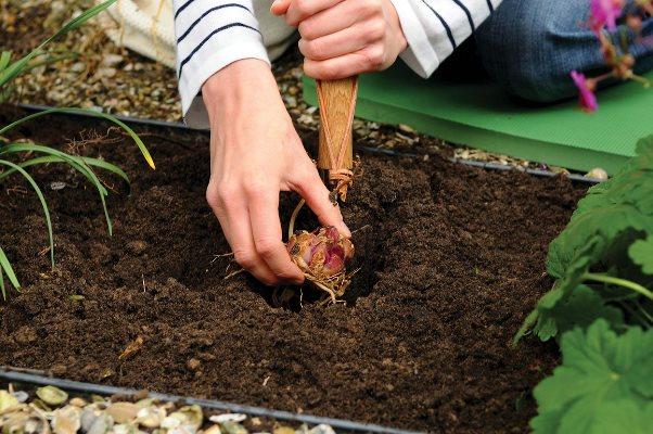 пересадка лилий осенью когда и как посадить