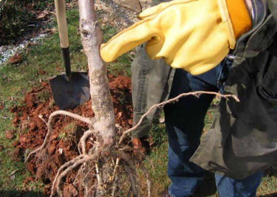 как посадить грушу осенью пошаговое