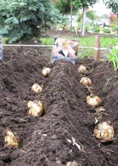 как посадить лилию луковицей осенью