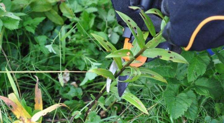 что делать с лилиями осенью