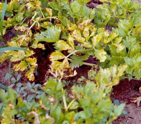 болезни сельдерея корневого