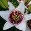 лилия уайт пиксель фото и описание