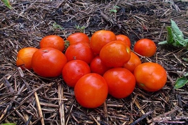 томаты Амурский штамб