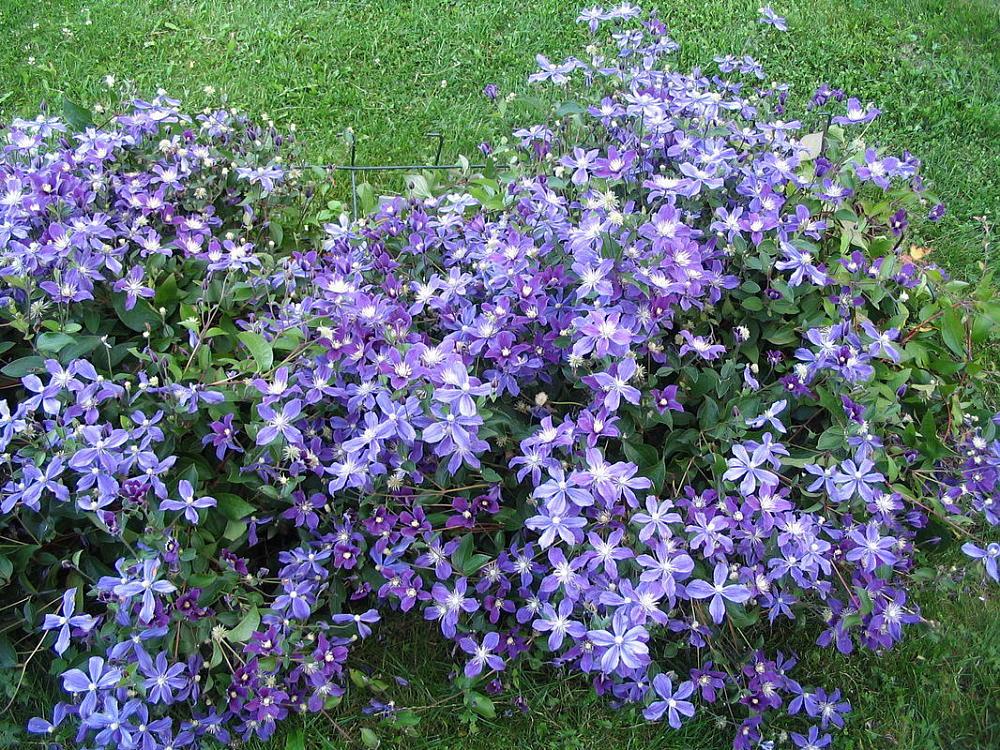 как цветет клематис арабелла