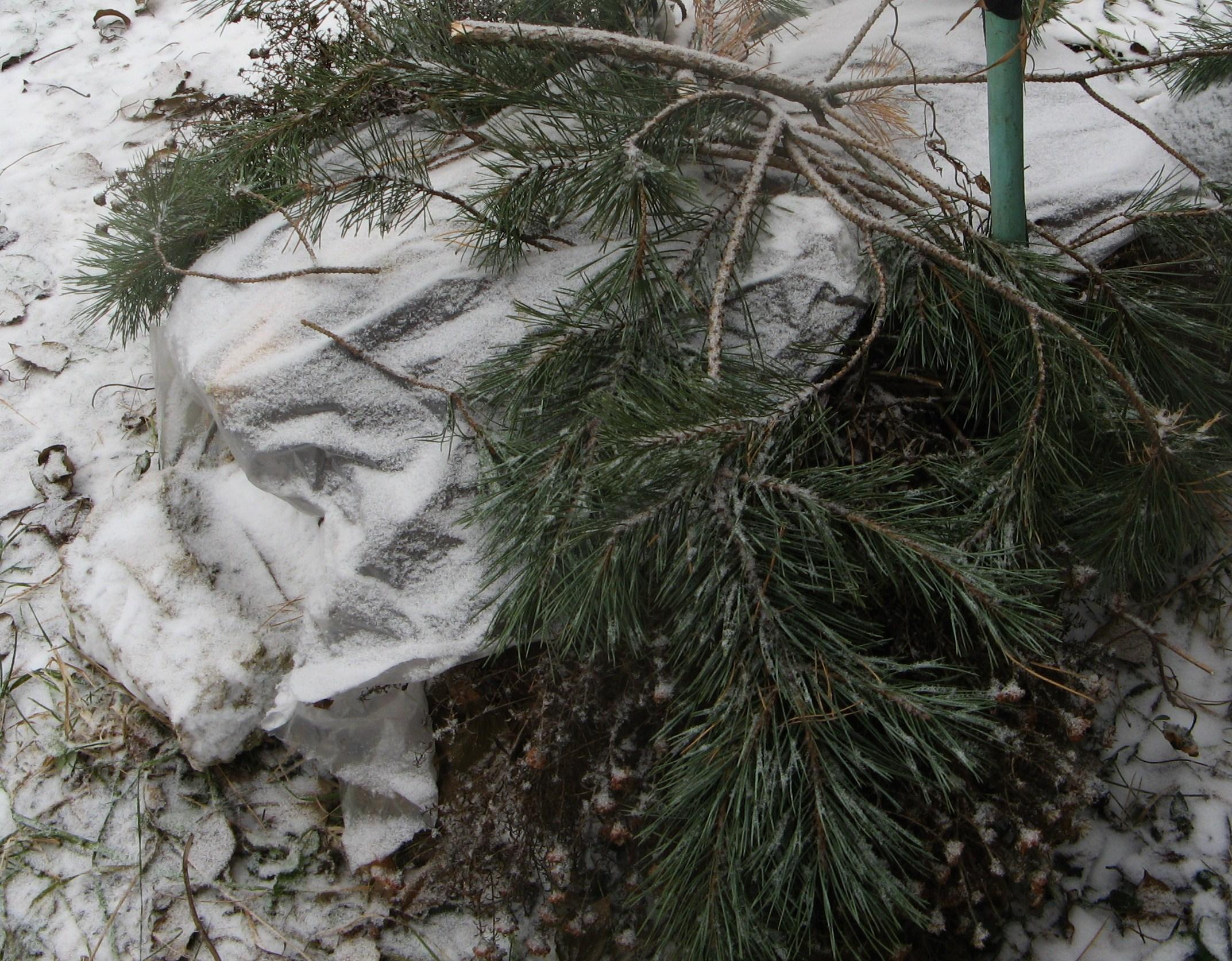 подготовка клематиса арабелла к зиме