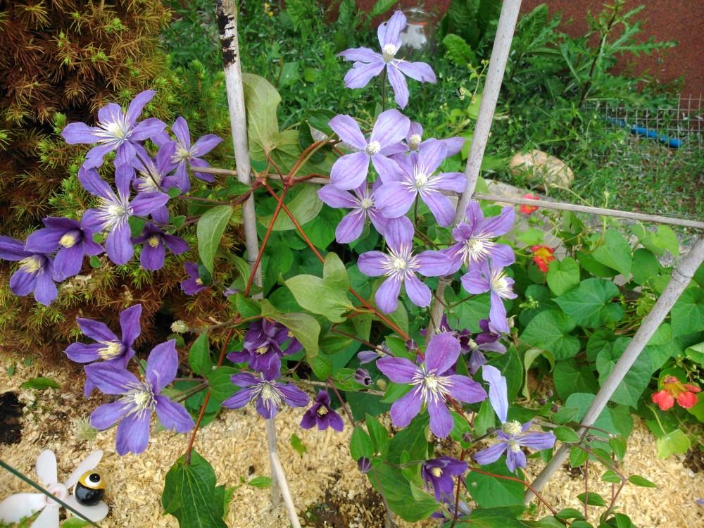 клематис арабелла цветет
