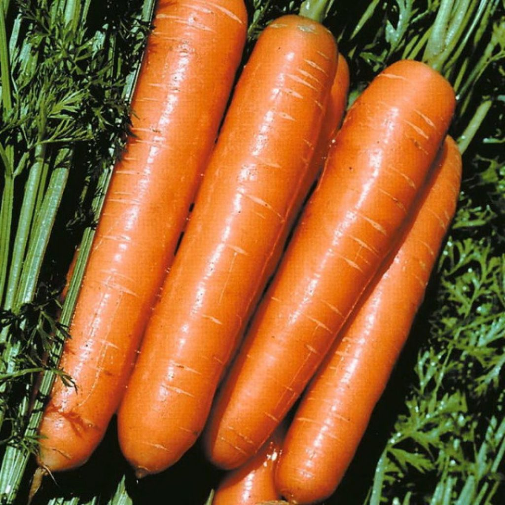 фото моркови император