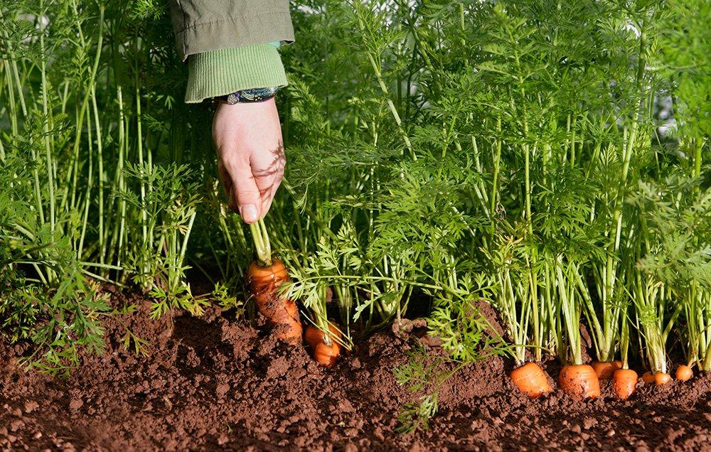 урожай моркови император