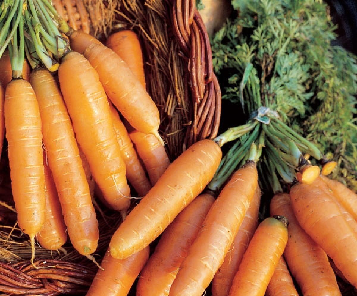 морковь амстердамская в пучках