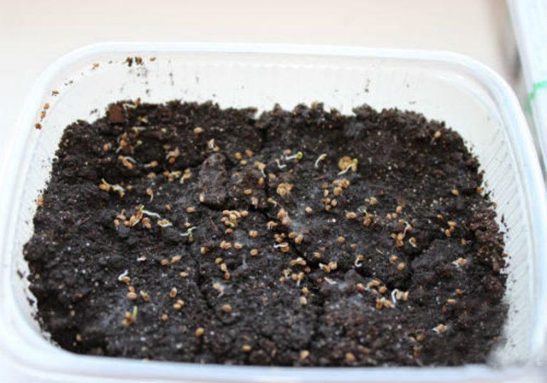корневой сельдерей на рассаду