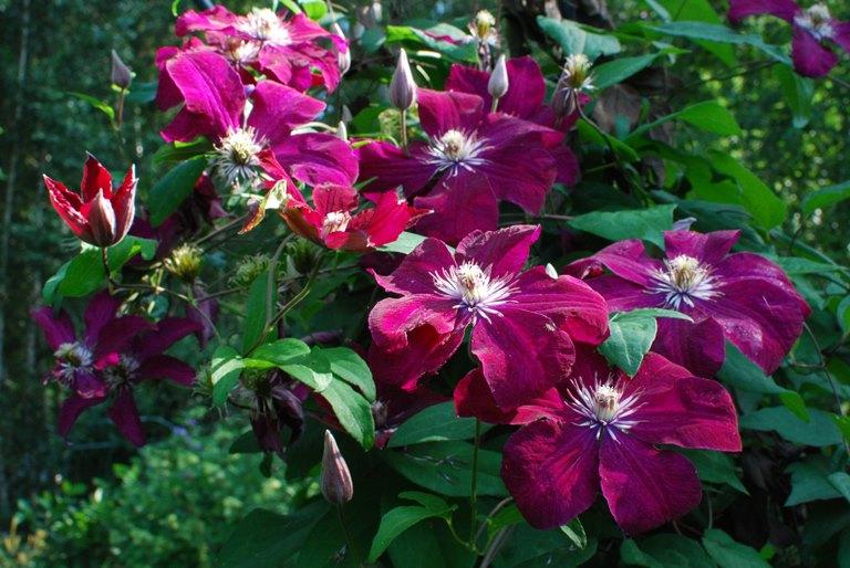 красивые цветы клематиса кардинал вышинский