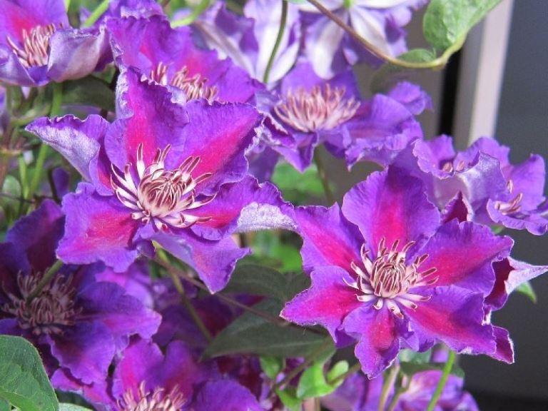 цветение клематиса ашва