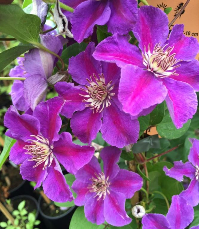 цветки клематиса ашва