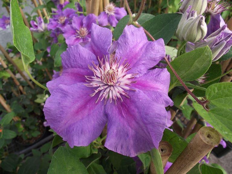 цветок клематиса ашва