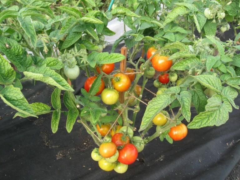 достоинства томатов взрыв