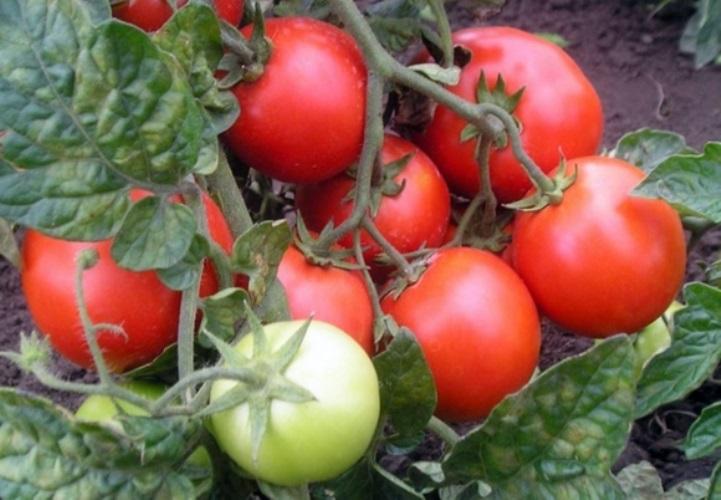 зрелые томаты красная шапочка