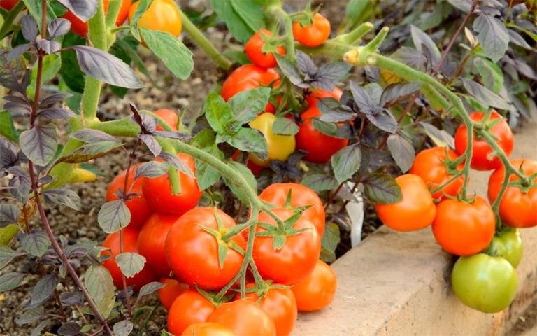 кусты томата санька