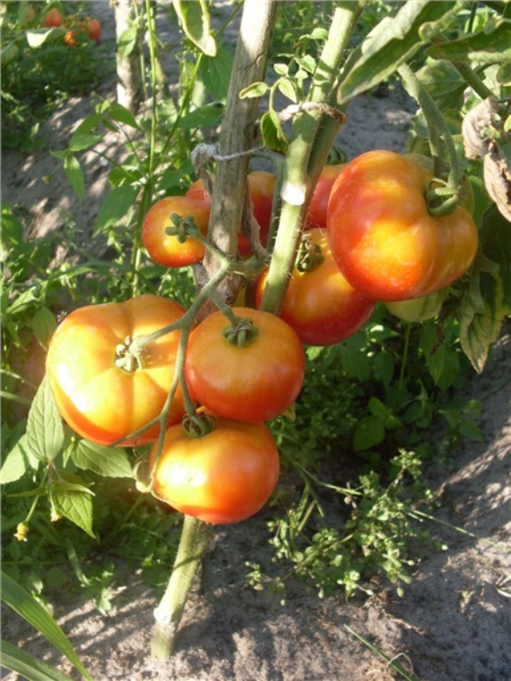 описание томата взрыв