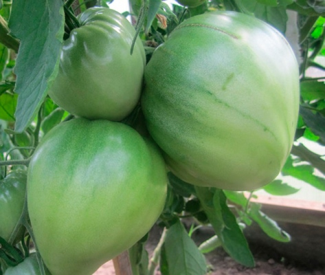помидоры батяня на кустах