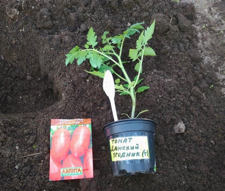 посадка томата дамский угодник в открытый грунт