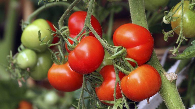 ранние томаты санька