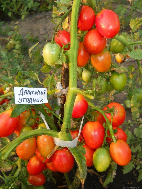 томаты дамский угодник на кустах