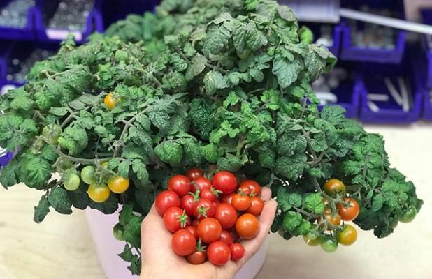томат красная шапочка выращивание в горшках