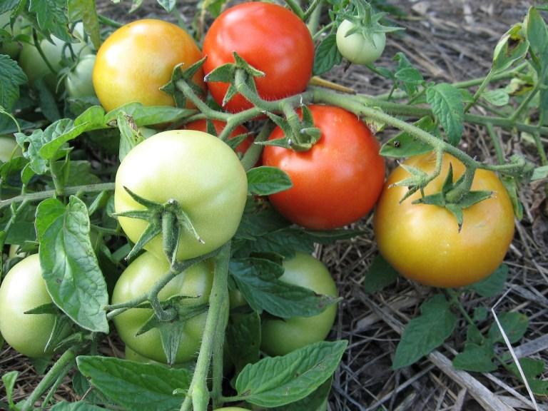 томат санька на кустах