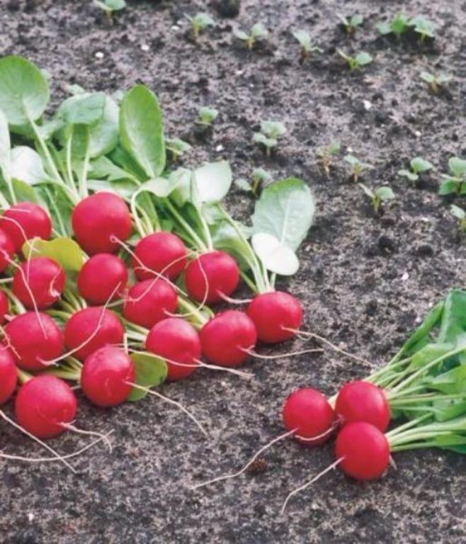 урожайность редиса жара