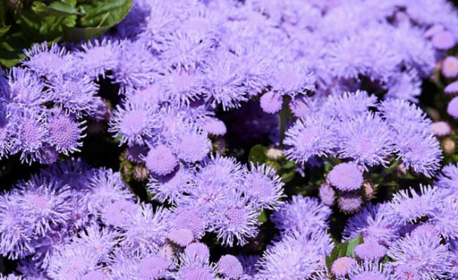 агератум алоха блю цветы