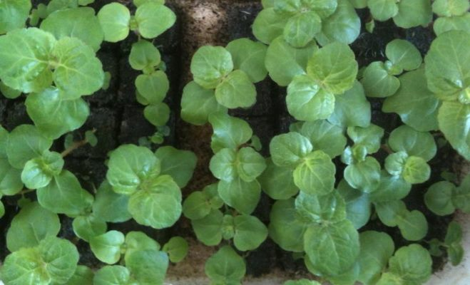 выращивание рассады агератума