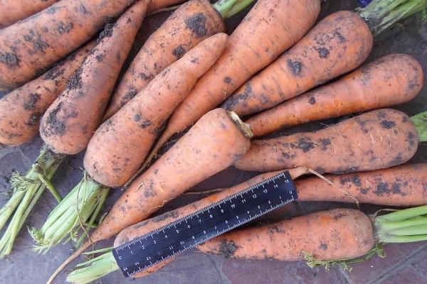 достоинства моркови абако