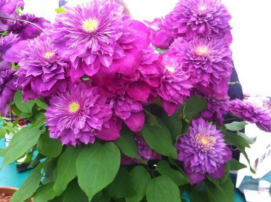 крупноцветковый клематис кайзер