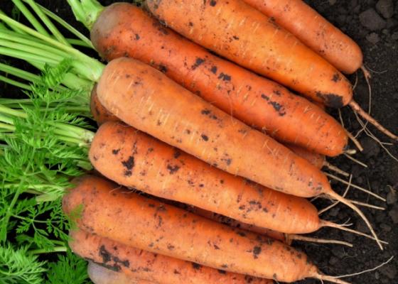 описание моркови балтимор