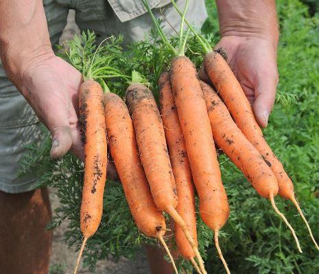 отзывы о моркови балтимор